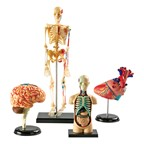 Anatomy Models Set